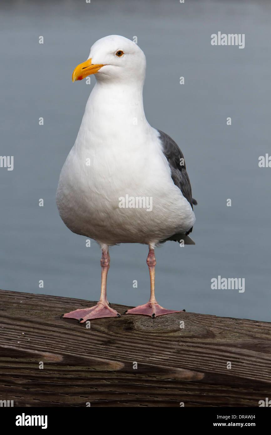 California Gull - Stock Image
