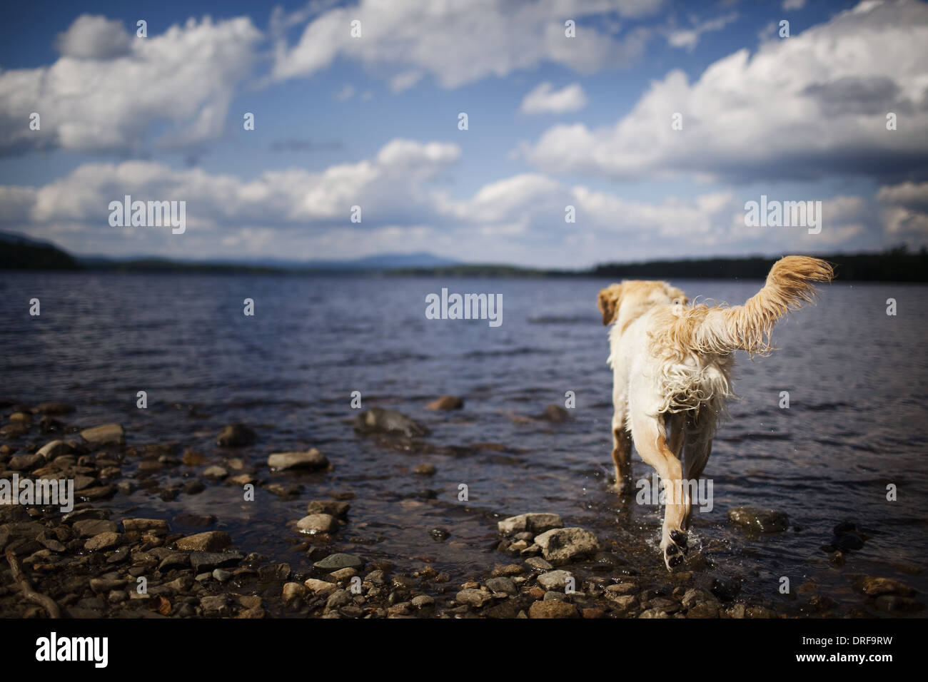 USA wet dog with long hair family pet shaking itself - Stock Image