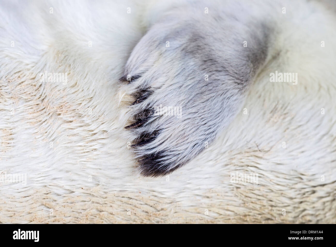 Close-up detail of the fore flipper of a Grey seal pup in white natal fur, North Sea coast, Norfolk, England - Stock Image