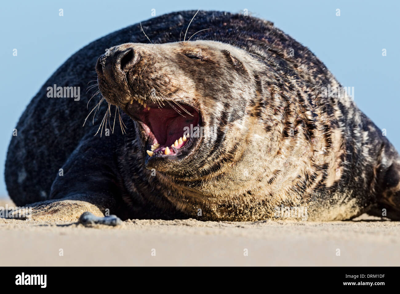 An adult male Grey seal bull asserts his dominance on his beach territory, North Sea coast, Norfolk, England - Stock Image