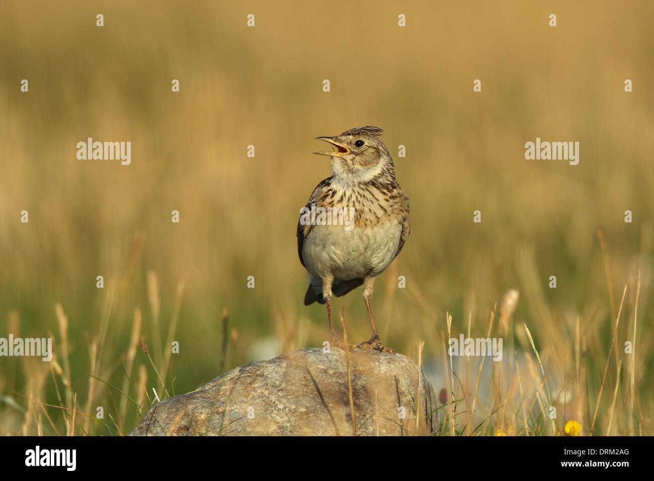 Skylark singing ©Jake Stephen Photography. - Stock Image