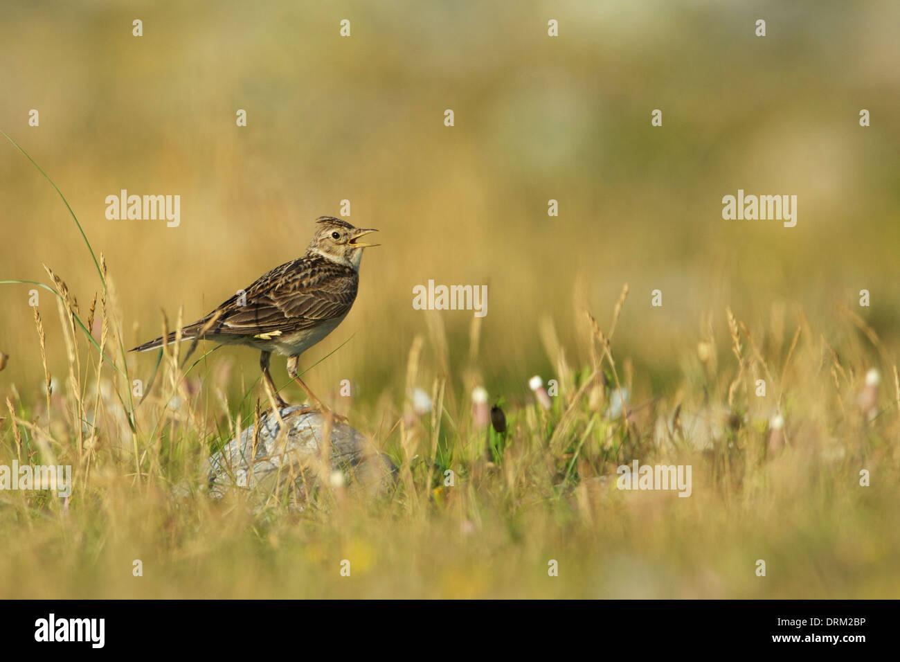 Skylark on rock (singing) ©Jake Stephen Photography. - Stock Image
