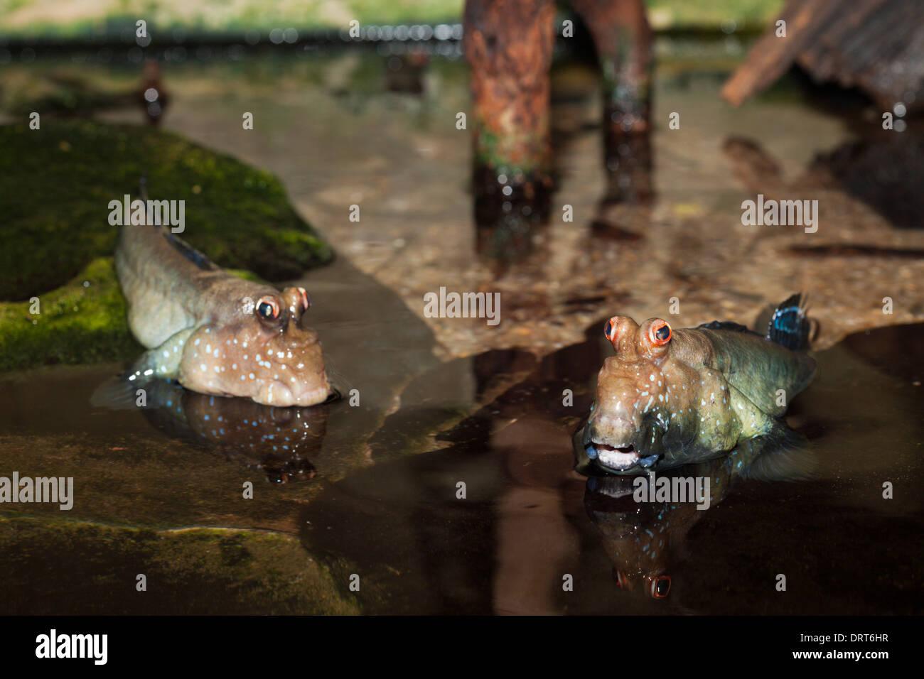 Mudskipper, Periophthalmus spec., Mozambique - Stock Image