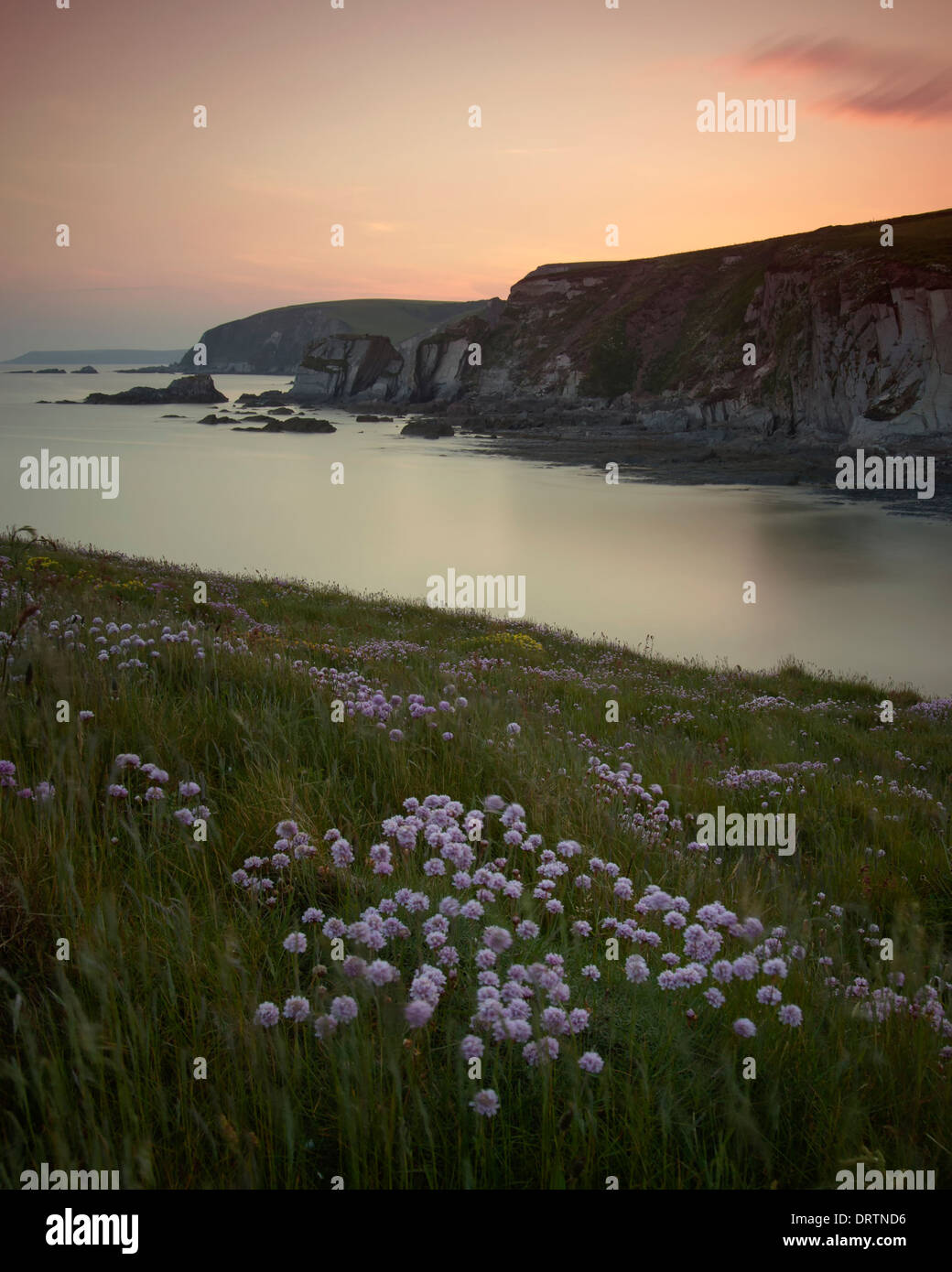 Thrift near Ayrmer Cove on the South West Coast Path at Kingsbridge overlooking Westcombe Beach, Ringmoor just after - Stock Image