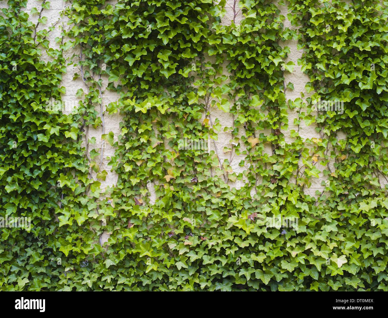 Washington USA Ivy growing lush plant on brick wall - Stock Image