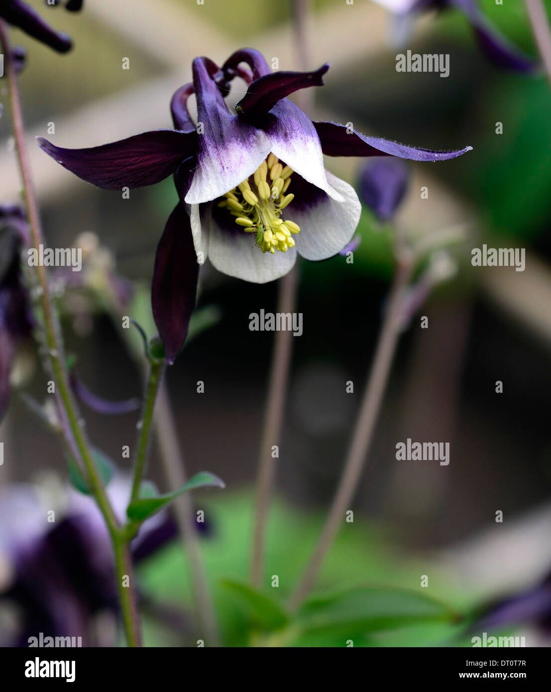 Aquilegia William Guinness White Purple Dark Bicolour Bicolor Flower