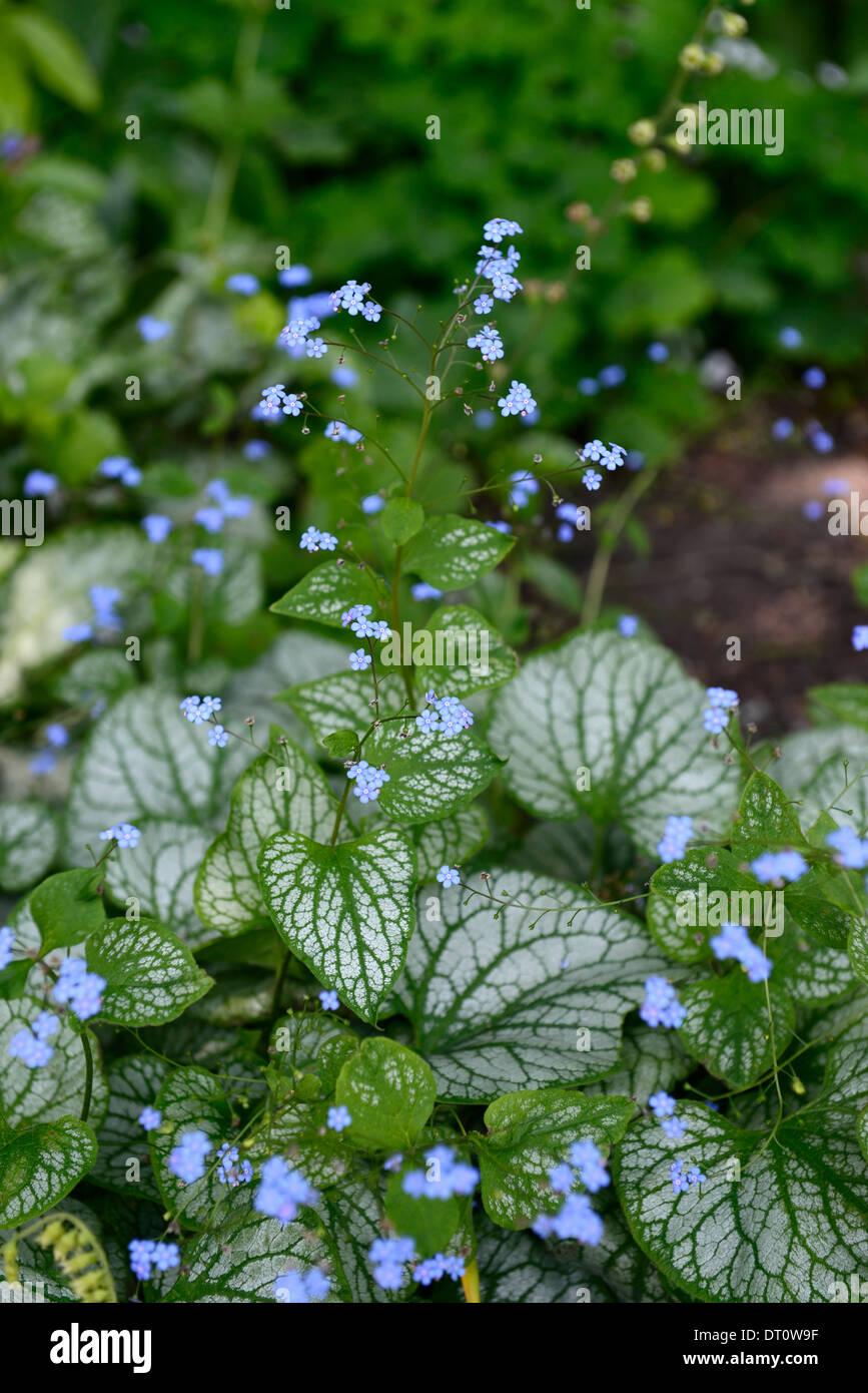 Brunnera jack frost blue flowers flower flowering woodland shade brunnera jack frost blue flowers flower flowering woodland shade loving perennial leaf foliage variegated green white bugloss mightylinksfo Gallery