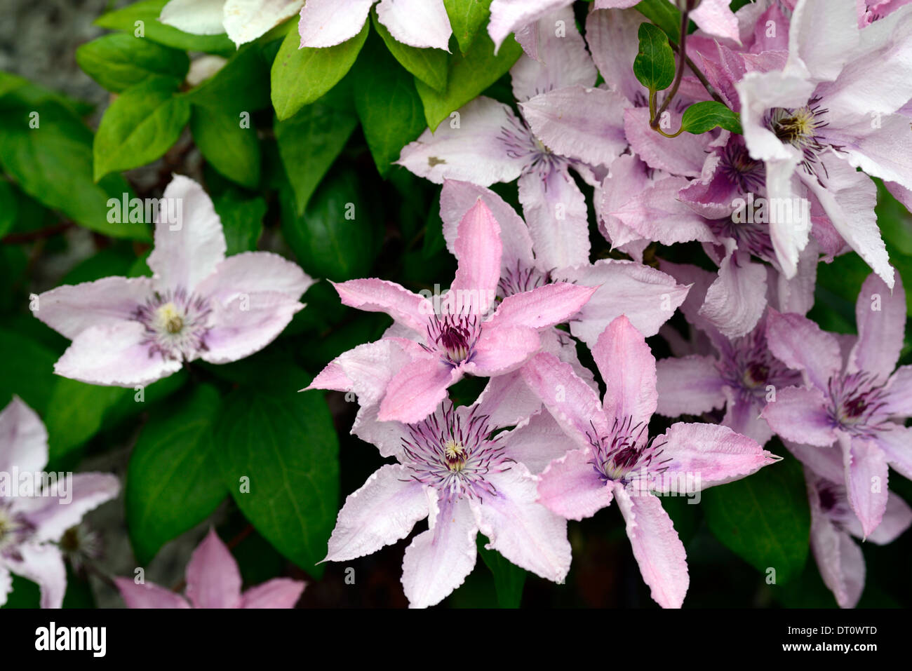 Clematis Hagley Hybrid Dusky Pink Flowers Climbers Climbing Shrubs
