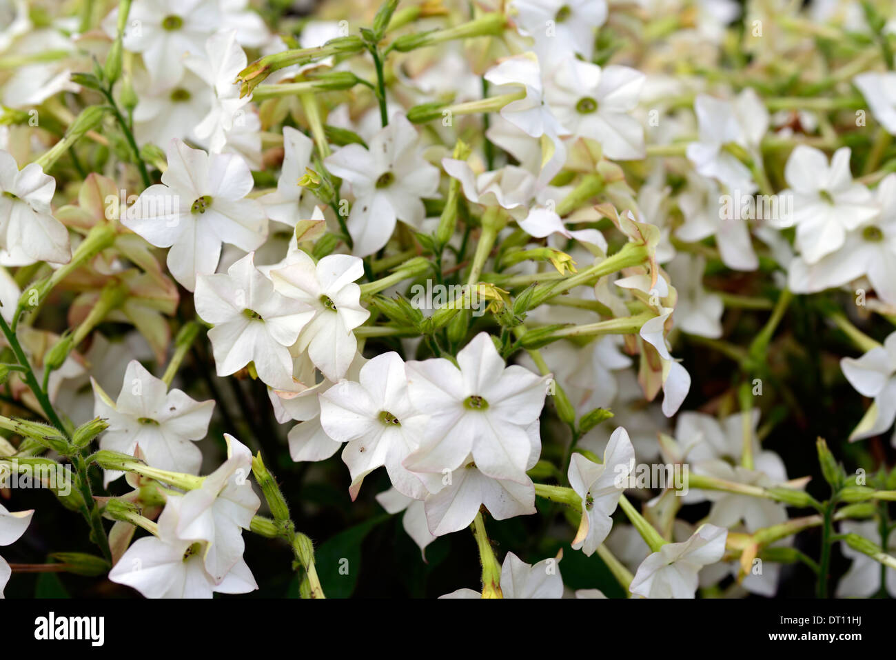 Nicotiana alata stock photos nicotiana alata stock images alamy nicotiana alata perfume white annual annuals flower flowers scented fragrant plant portraits flowering bedding bed izmirmasajfo Gallery
