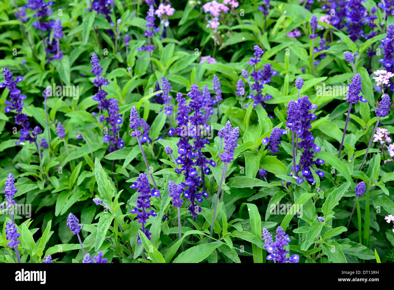 Perennial Plants With Purple Flowers Gallery Flower Decoration Ideas