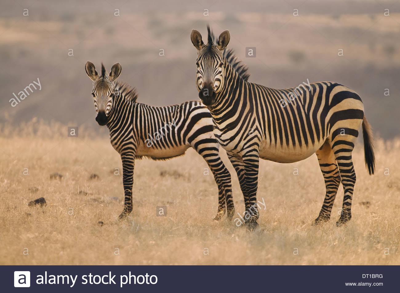 Torra Conservancy Damaraland Namibia Two mountain zebras Equus zebra on plains Namibia - Stock Image