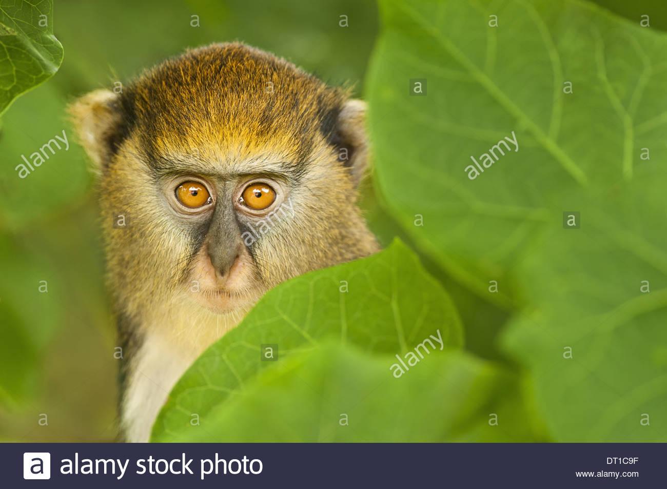 Boabeng-Fiema Monkey Sanctuary Ghana young Mona monkey Cercopithecus mona Ghana - Stock Image