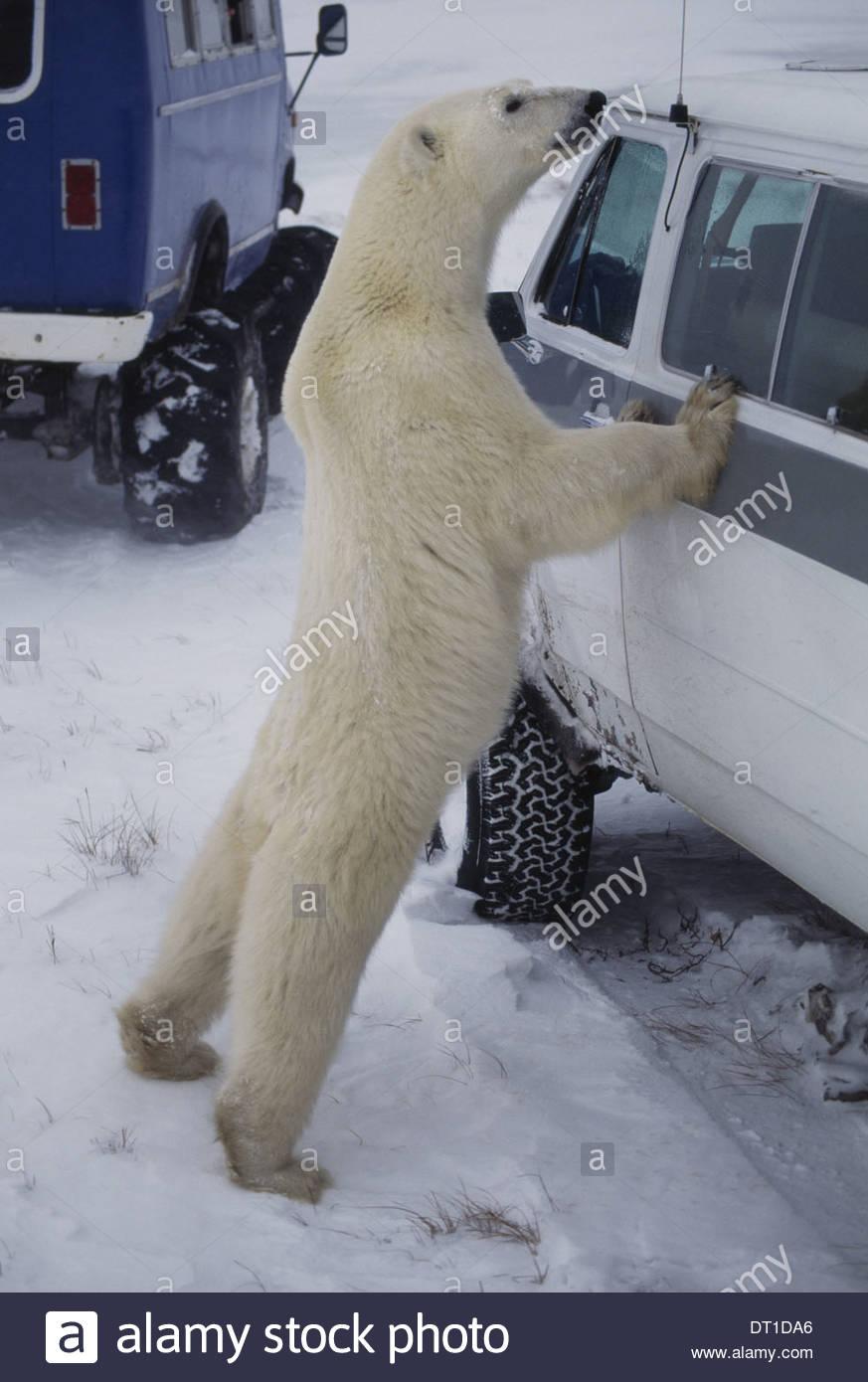 Hudson Bay Canada Polar bear and tourist vehicle Ursus maritimus - Stock Image