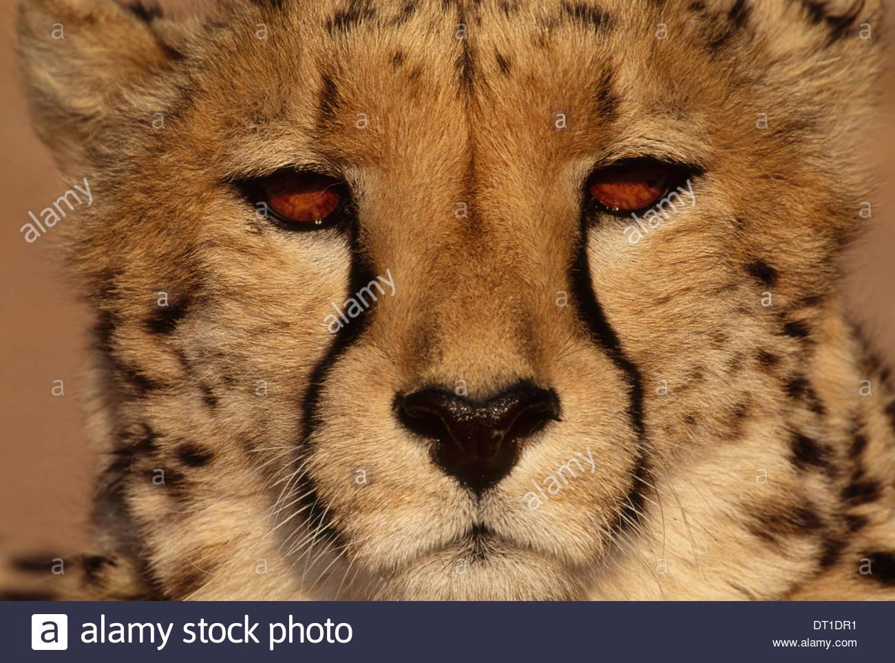 Namibia Cheetah Acinonyx jubatus Namibia - Stock Image
