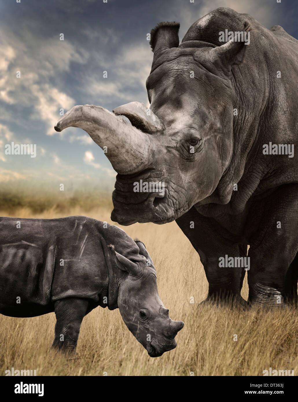 Mother And Baby White Rhino Grazing - Stock Image