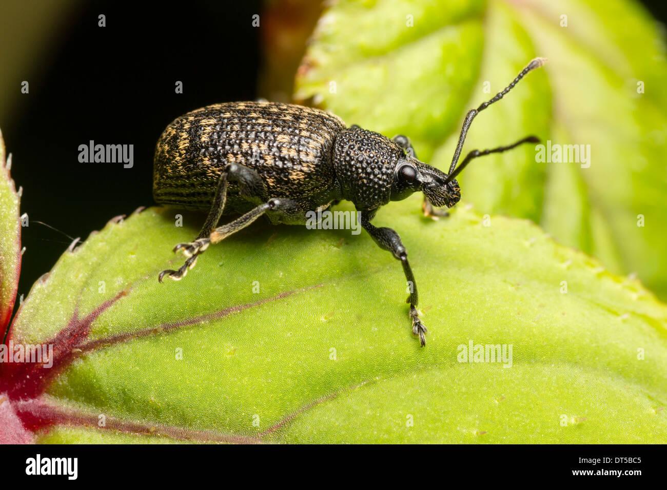 black-vine-weevil-otiorhynchus-sulcatus-