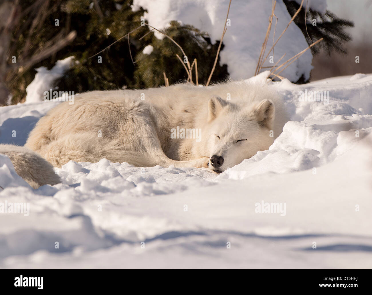 white-wolf-sleeping-in-the-snow-on-a-bright-sunny-day-DT5HHJ.jpg
