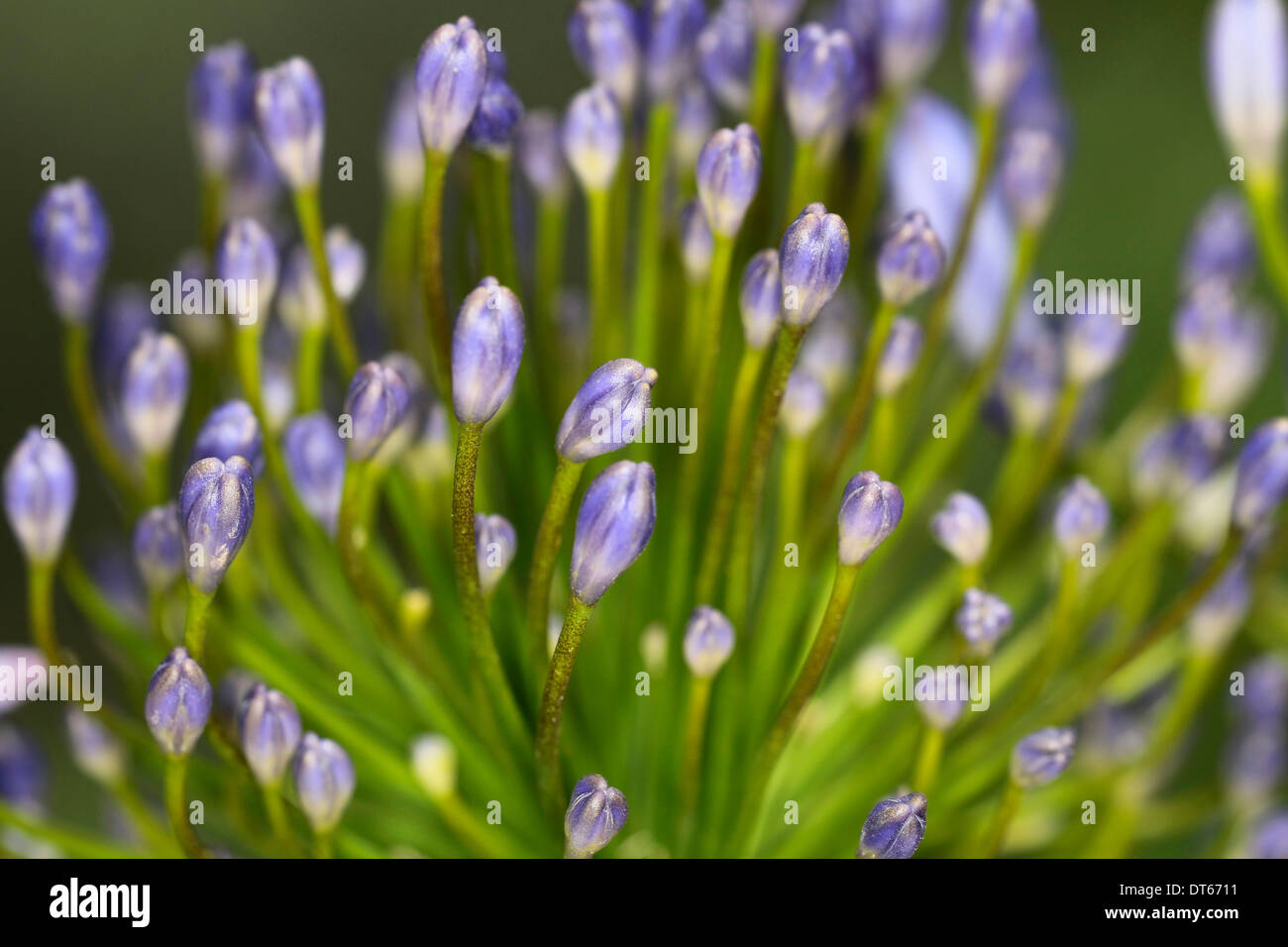 Lily of the nile agapanthus close up of purple flower buds stock lily of the nile agapanthus close up of purple flower buds izmirmasajfo Images