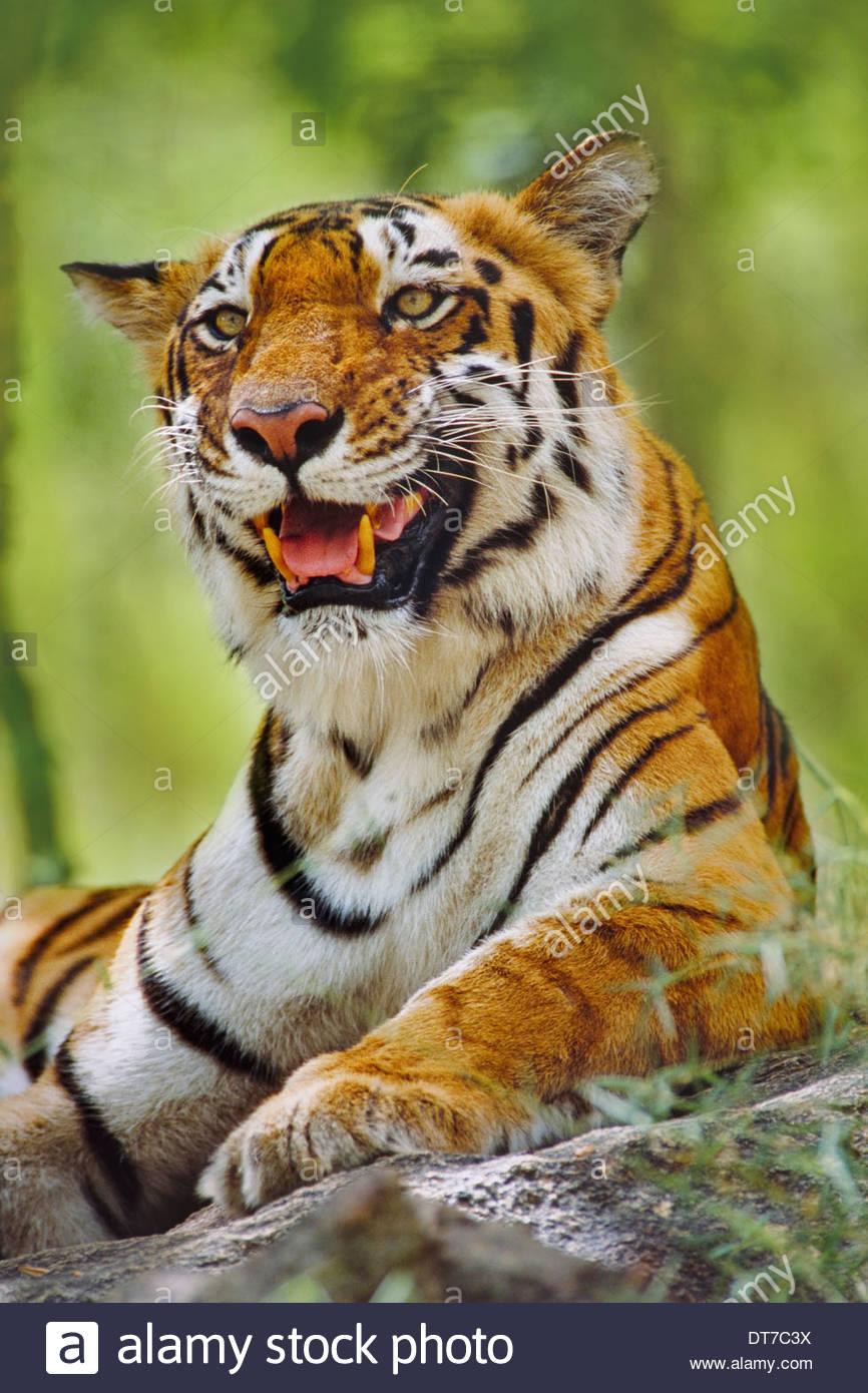 Bengal tiger resting Panthera tigris tigris Western Ghats India Western Ghats India - Stock Image