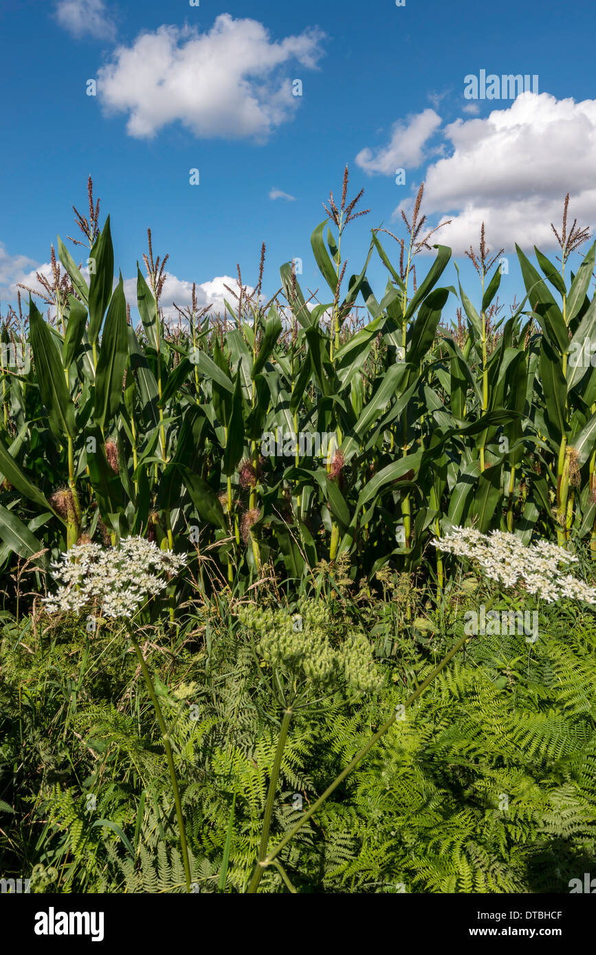 CROP OF MAIZE, ALSO KNOWN AS SWEET CORN IN FIELD At EDGE OF  OFFA'S DYKE PATH IN GLOUCESTERSHIRE ENGLAND. - Stock Image