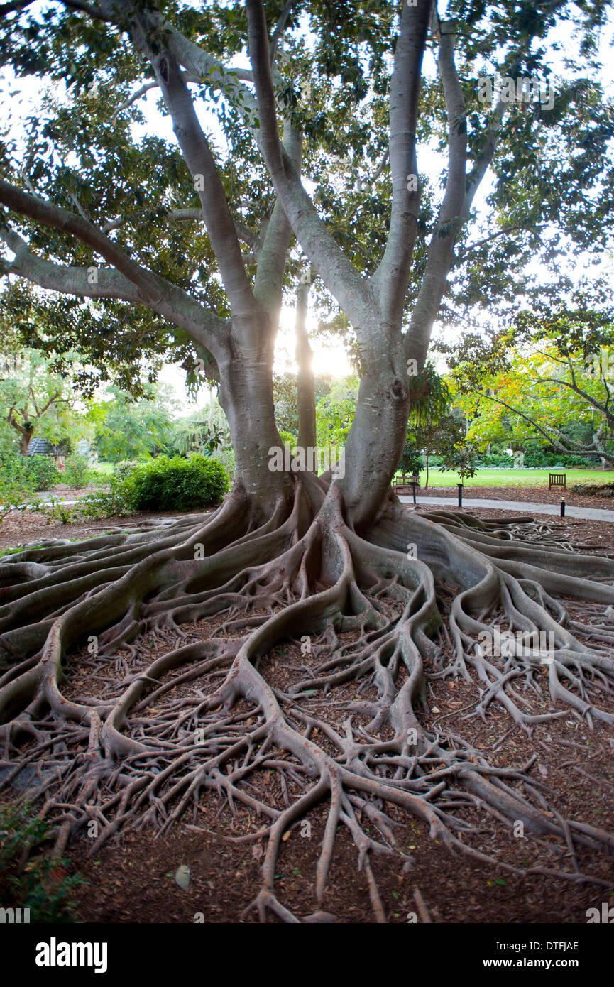 USA Florida Sarasota FL Marie Selby Botanical Gardens - ficus tree roots - twin trees entwined Stock Photo