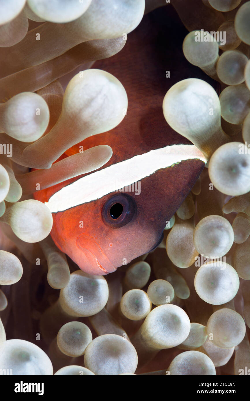 A tropical clown anemone fish rests within the protective tentacles of a host anemone - Stock Image