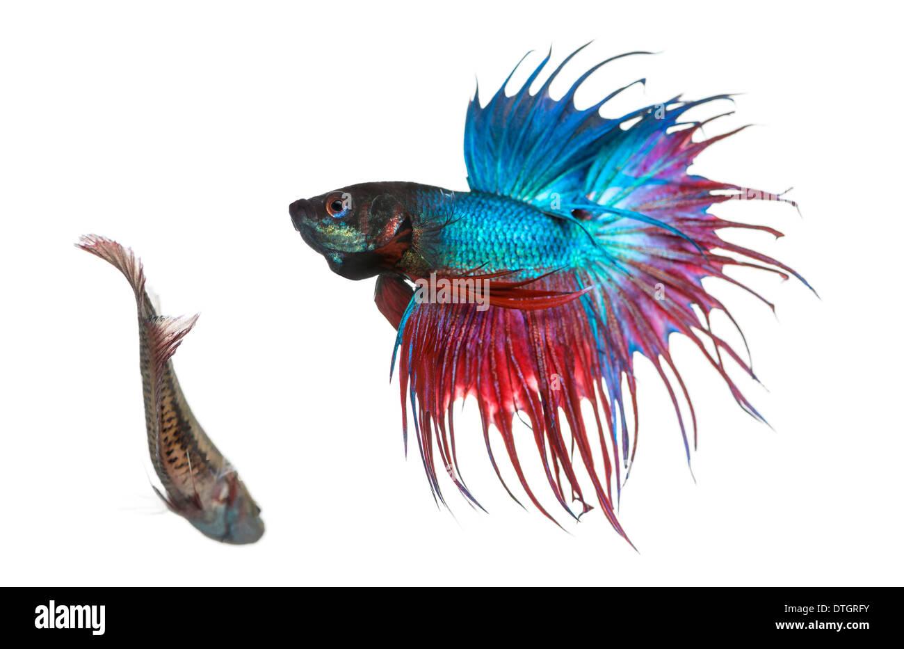 Male and female siamese fighting fish in a courtship dance for Betta fish behavior