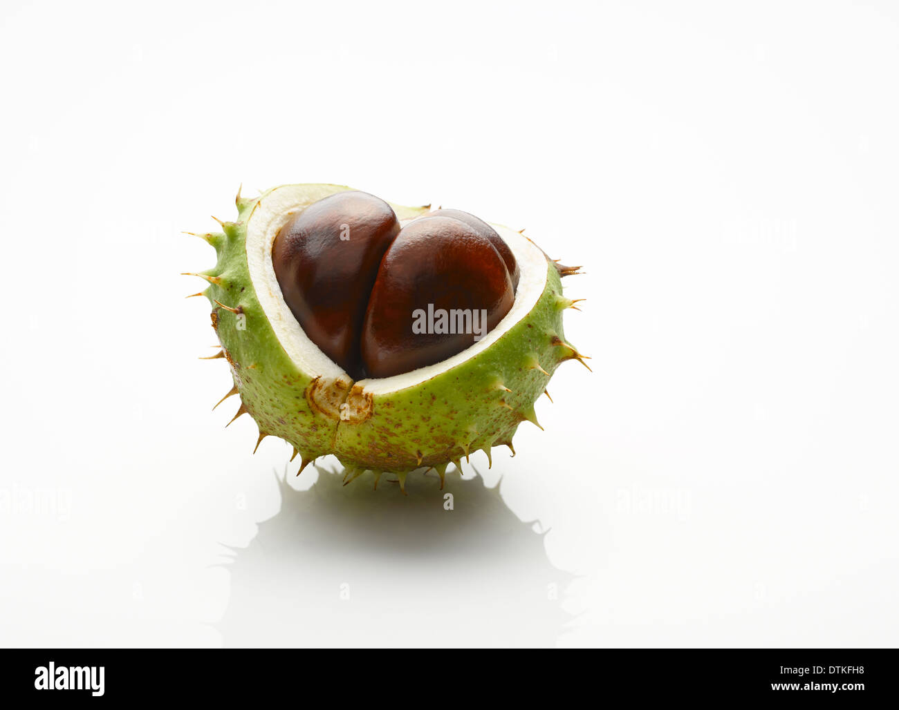 Close up of chestnut with exposed seed - Stock Image