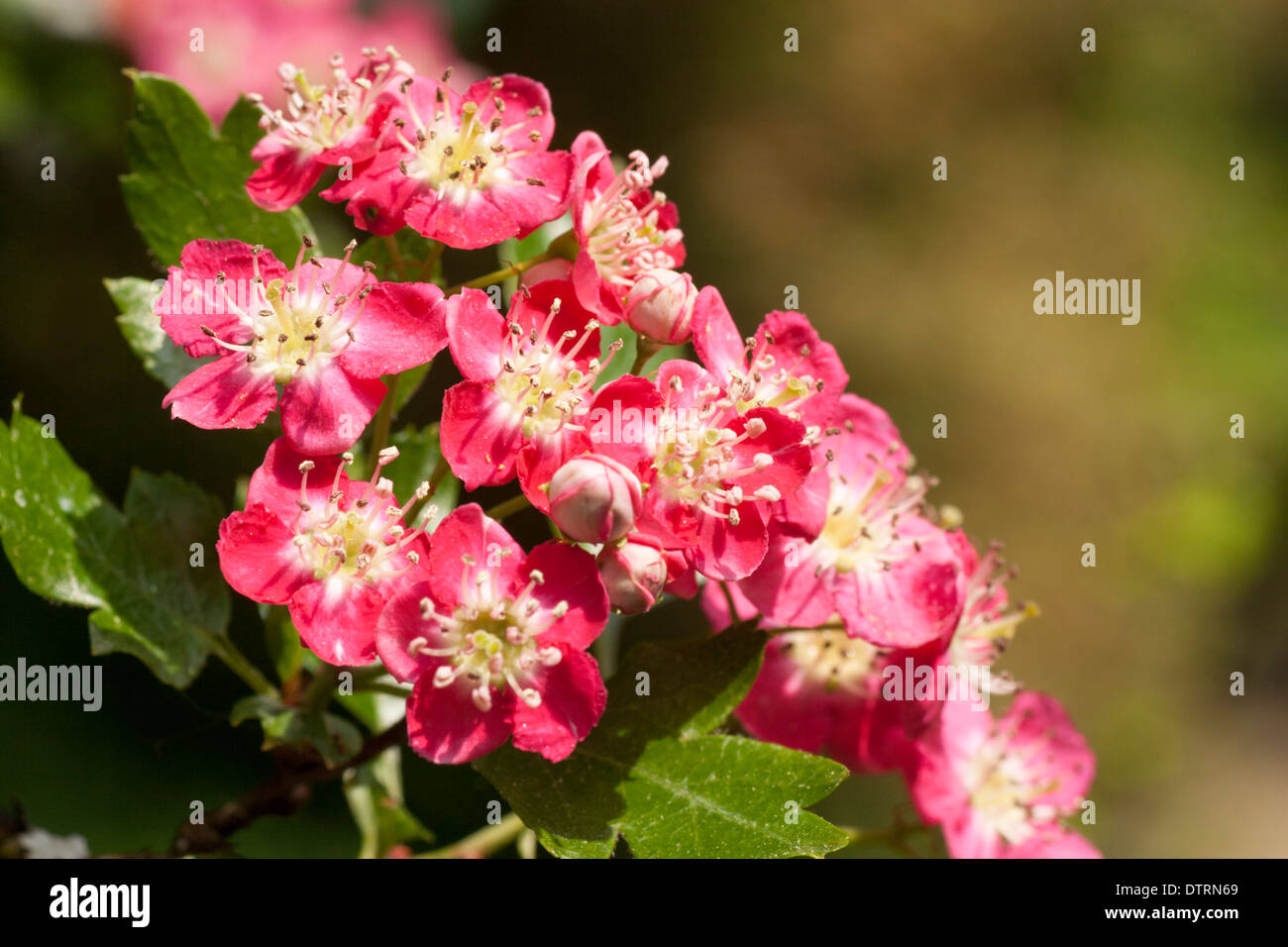 Flowers Of The Small Spring Flowering Red Hawthorn Tree Crataegus