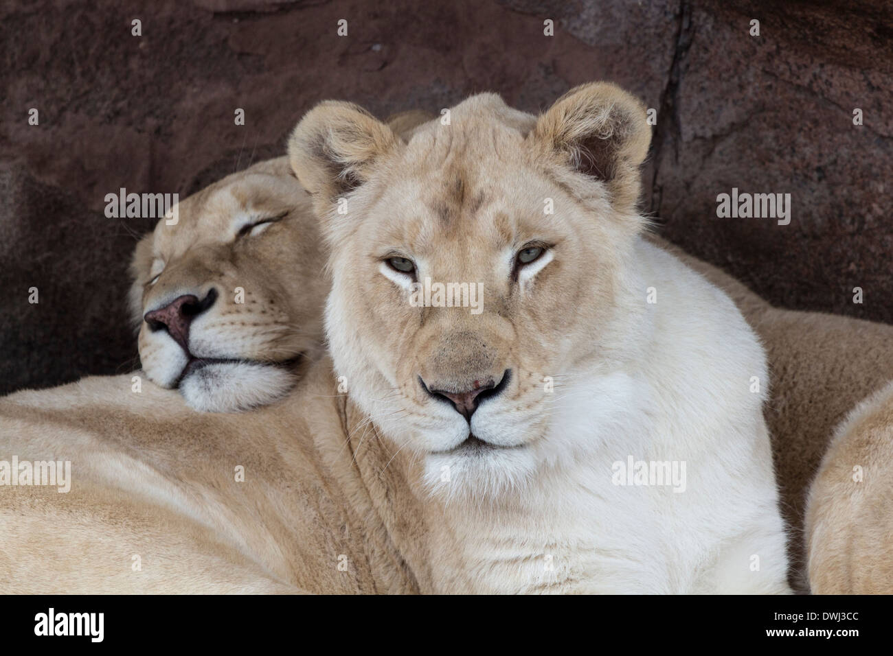 two-white-lionesses-at-the-toronto-zoo-DWJ3CC.jpg