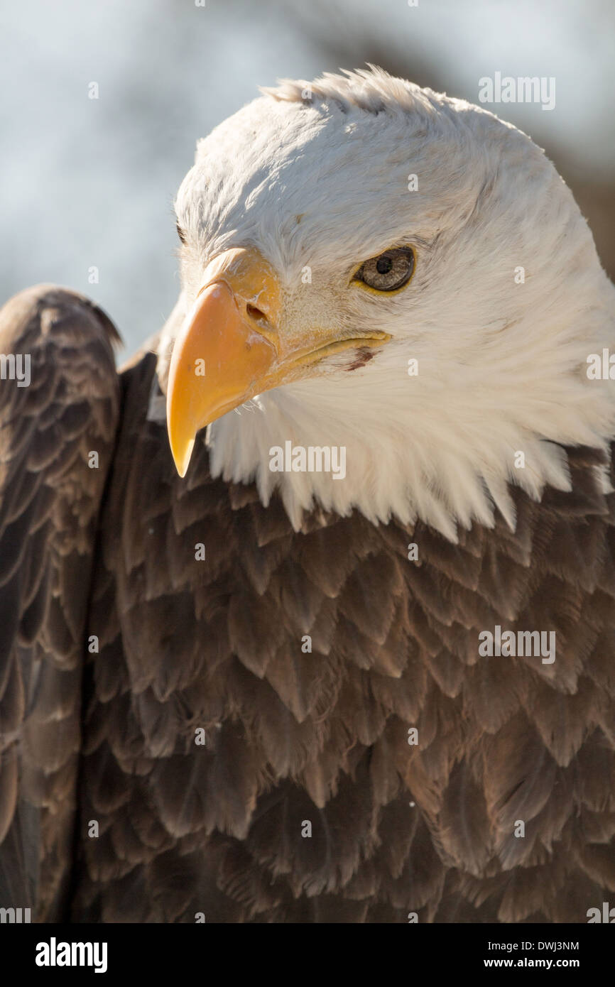 32-year-old-male-bald-eagle-at-the-toronto-zoo-DWJ3NM.jpg