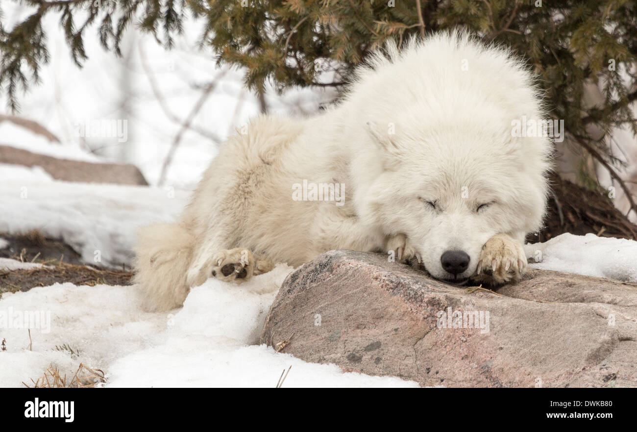 arctic-wolf-white-wolf-sleeping-on-a-rock-DWKB80.jpg