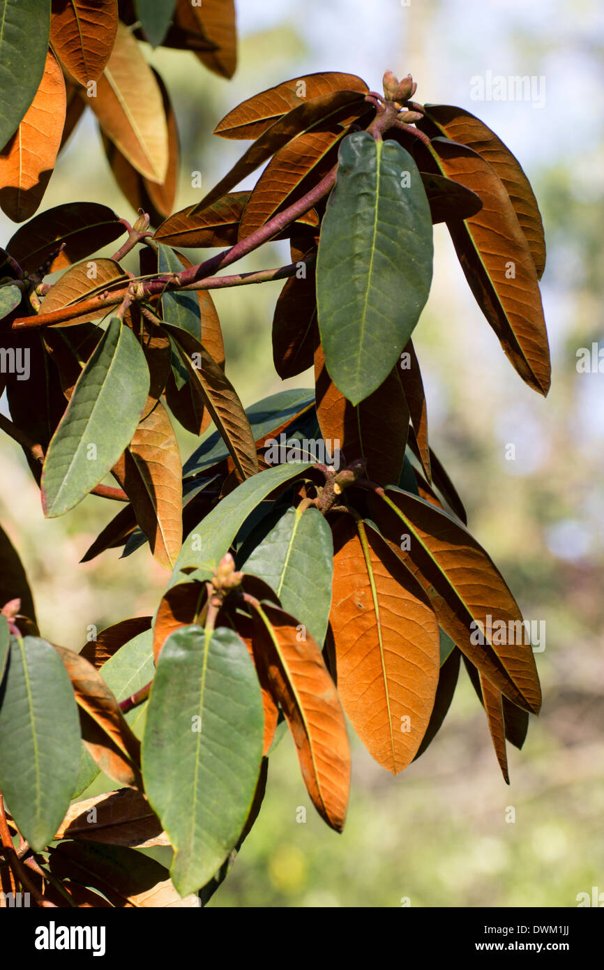 Foliage of Rhododendron campanulatum showing rich brown indumentum on leaf undersides Stock Photo