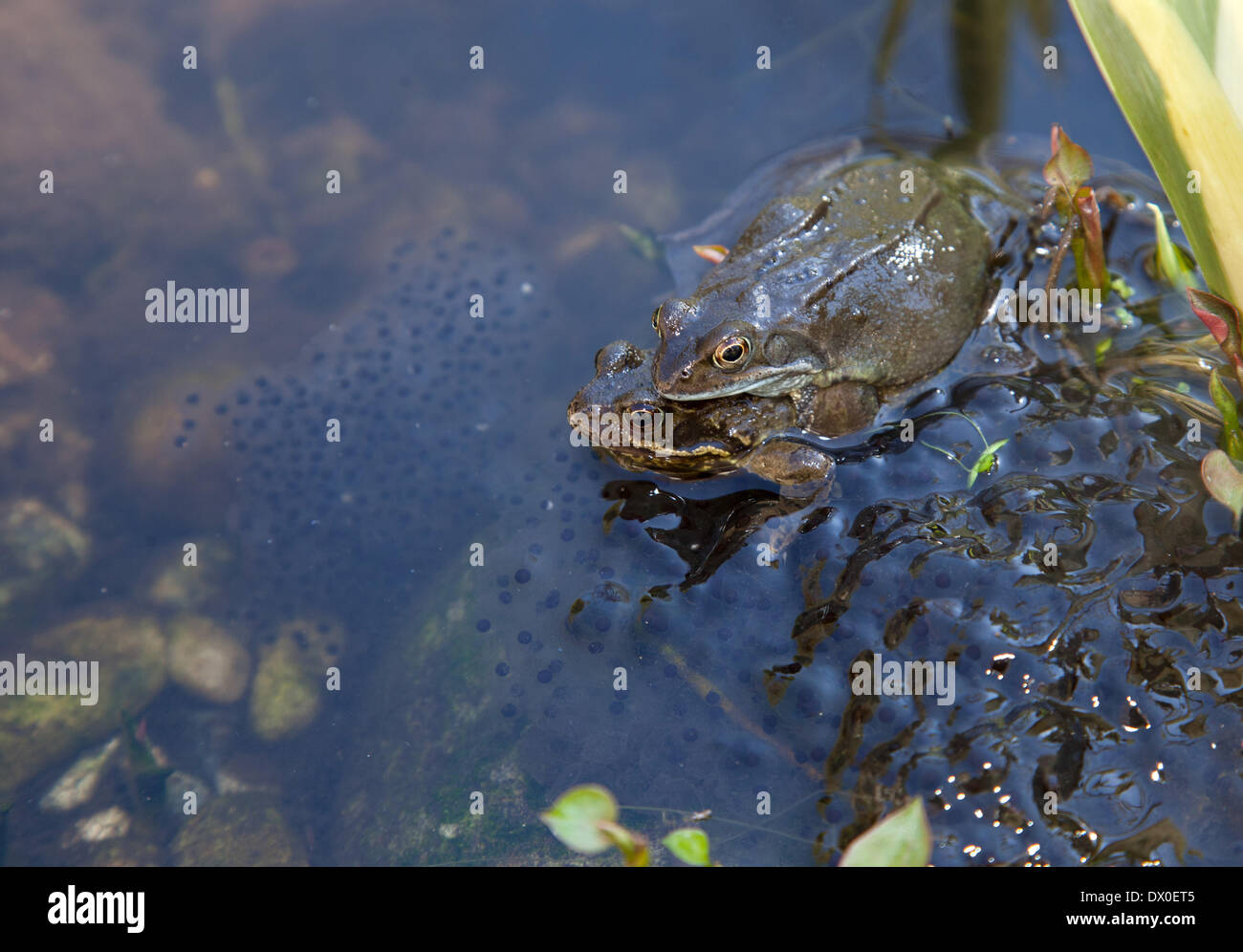 Love is in the air - and the pond too. Spring has well and truly sprung as two frogs make the most of the beautiful Stock Photo