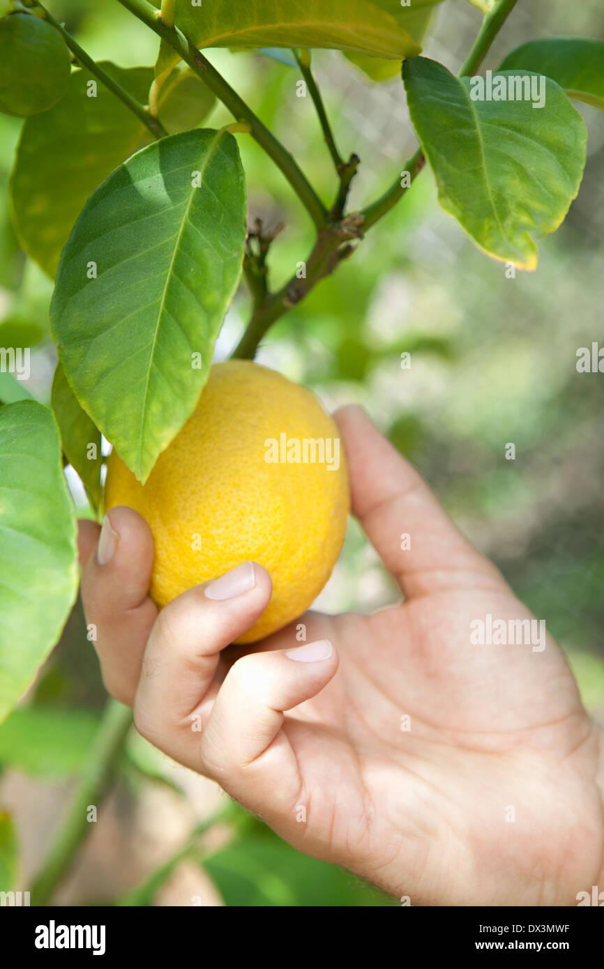 Man's hand picking ripe yellow lemon off tree branch, close up - Stock Image