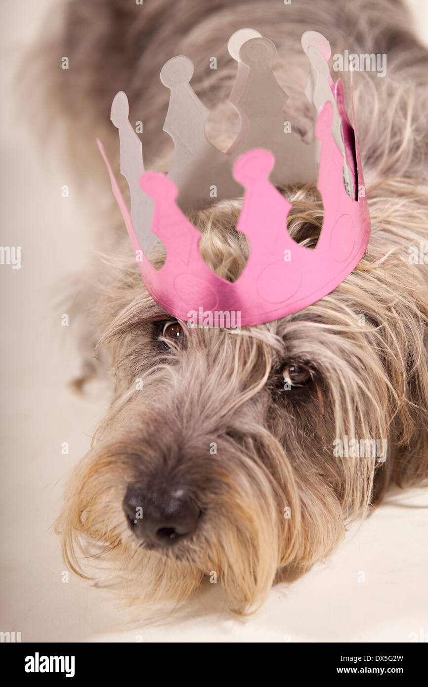 Shaggy dog with pink crown laying, portrait, close up - Stock Image