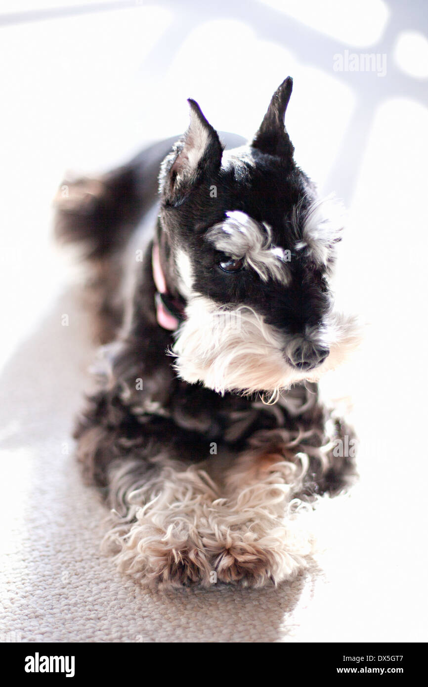Miniature black and white schnauzer laying on carpet, looking away, close up - Stock Image