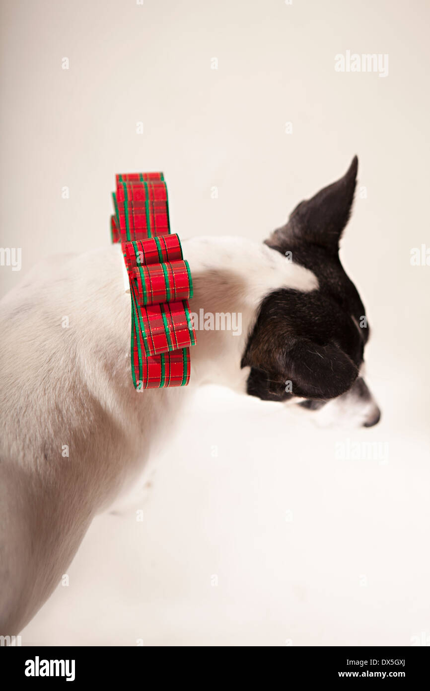 Black and white dog with Christmas bow collar on white background, directly above - Stock Image