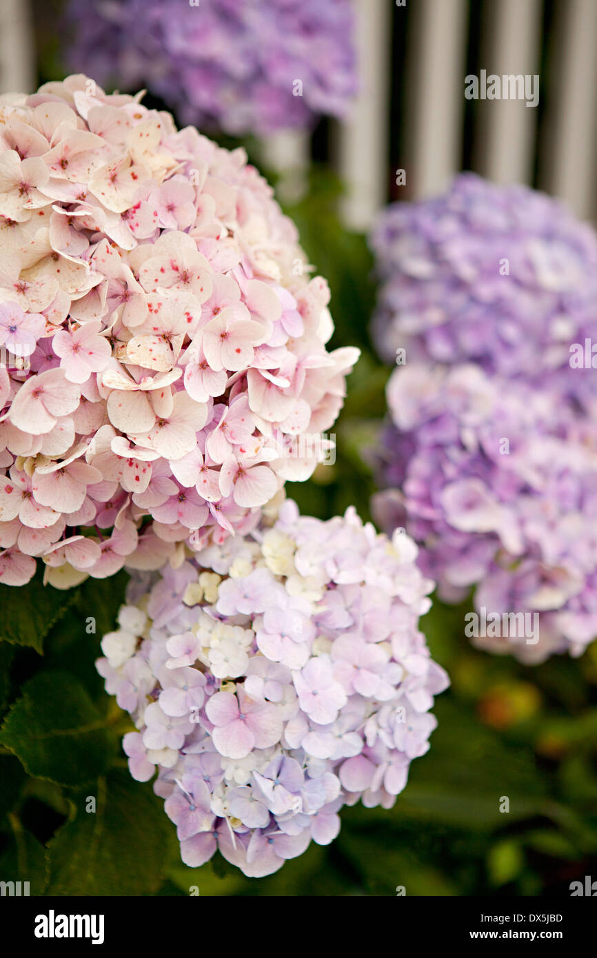 Pink and purple hydrangeas, close up - Stock Image