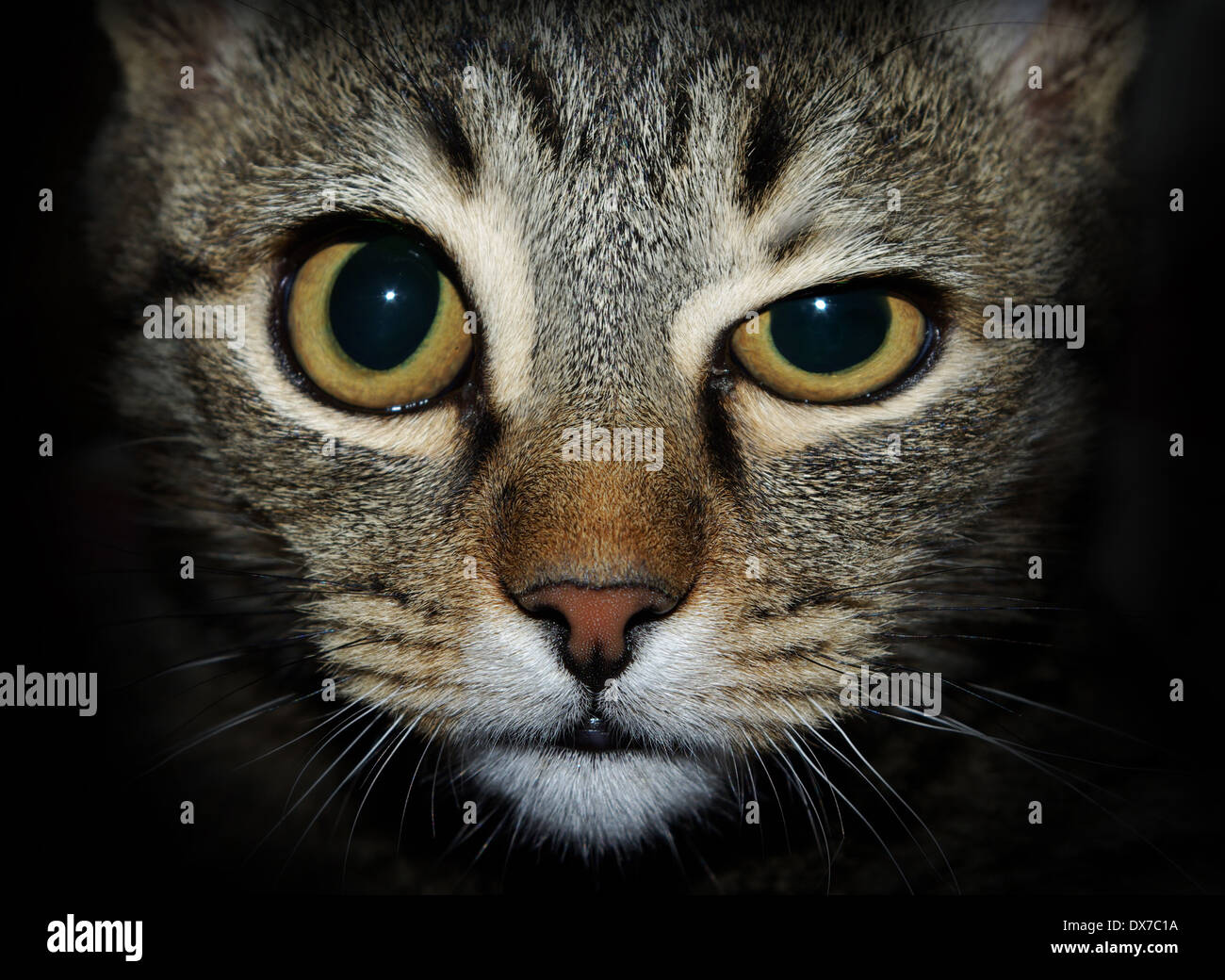 crazy cat looking at you - Stock Image
