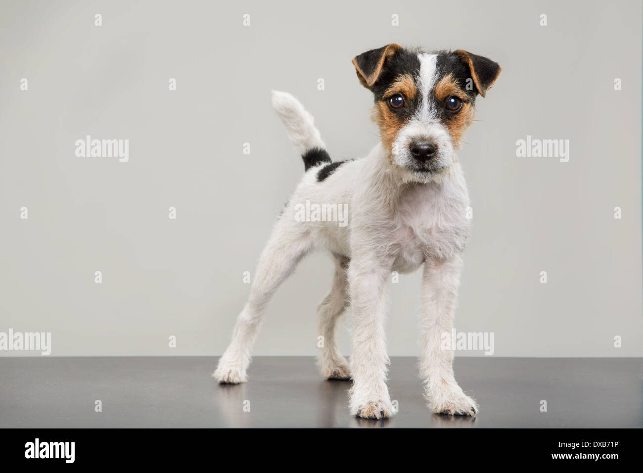 Studio portrait of Jack Russell Terrier puppy standing, staring at camera. - Stock Image