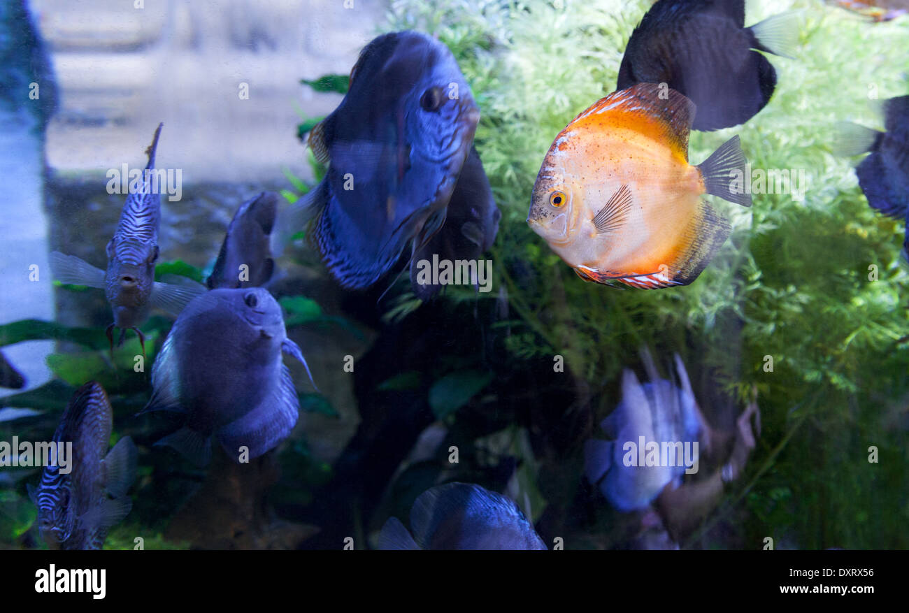 a-bright-orange-cichlid-fish-amongst-darker-colored-fish-concept-of-DXRX56.jpg