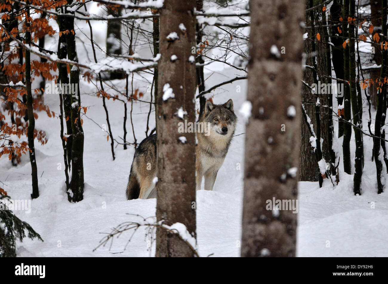 Canis lupus canids European Wolf gray wolf predators wolves predator Wolf winter snow cold frost Canine animal animals - Stock Image