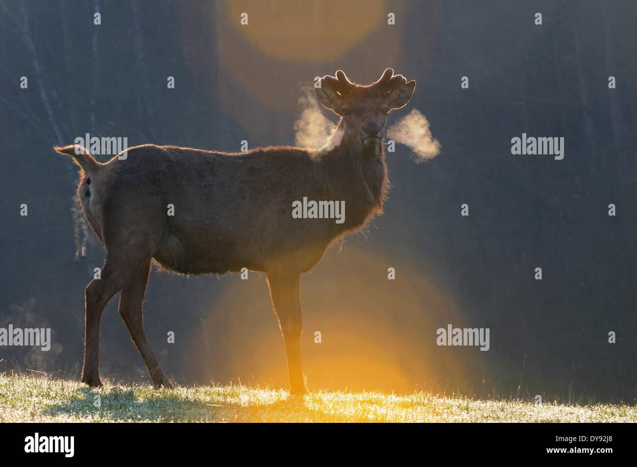 Red deer antlers antler Cervid Cervus elaphus deer stag stags hoofed animals European deer spring velvet animal - Stock Image