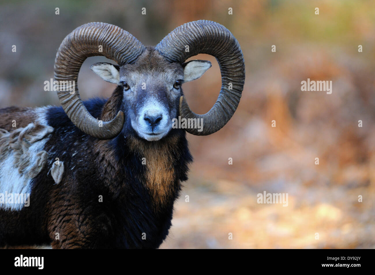 Mufflon ram mountain sheep Ovis ammon musimon winter coat sheep wild sheep goat-antelopes horn horns Mufflons animal - Stock Image
