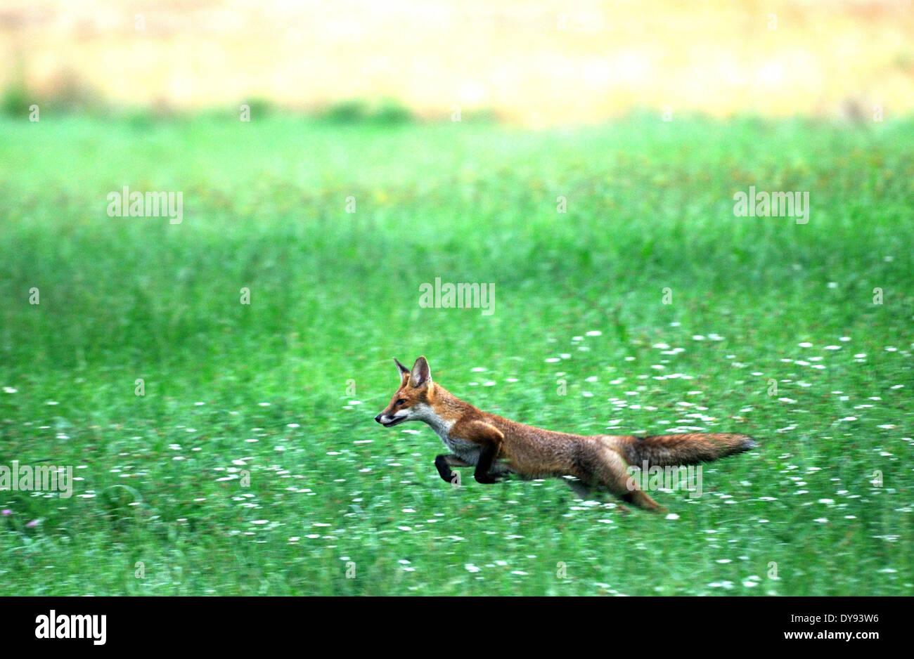 Red fox fox predator canids crafty European fox Vulpes vulpes foxes young grain-field cornfield jumping animal animals - Stock Image