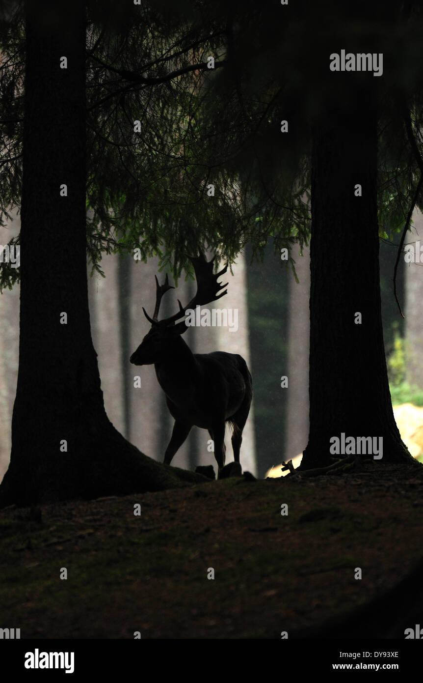 fallow deer deer stags stag cloven-hoofed animal antler Cervid Dama Dama autumnal forest animal animals Germany - Stock Image