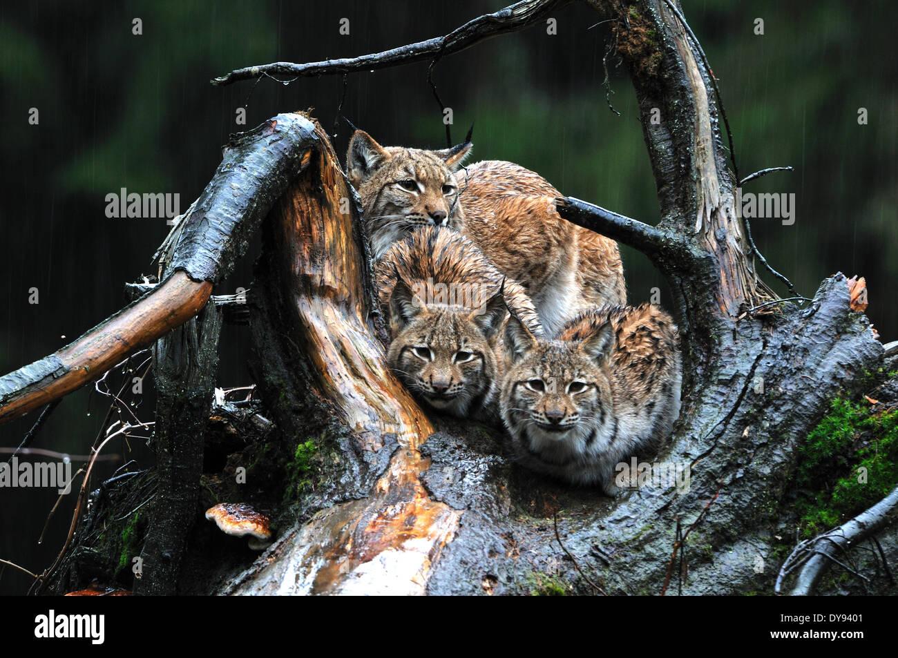 Lynx cat big cat predator cats wildcat big cats lynxes fur animals winter winter lynx snow Lynx lynx Eurasian lynx - Stock Image