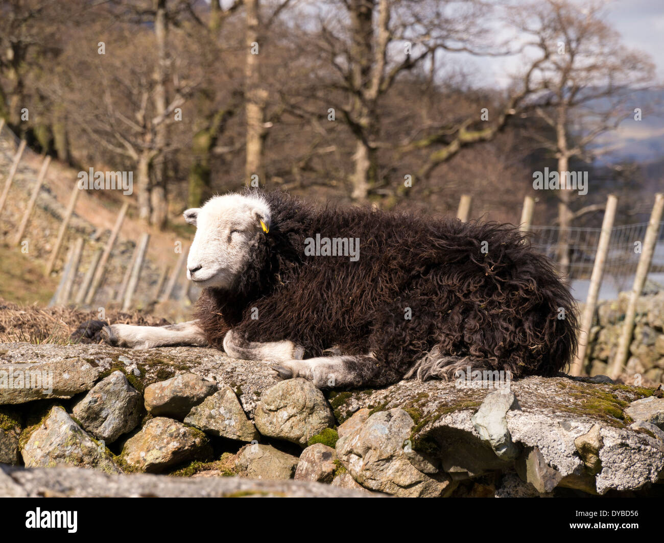 Black And White Sheep Stock Photos  for Sheep Face Black And White  568zmd