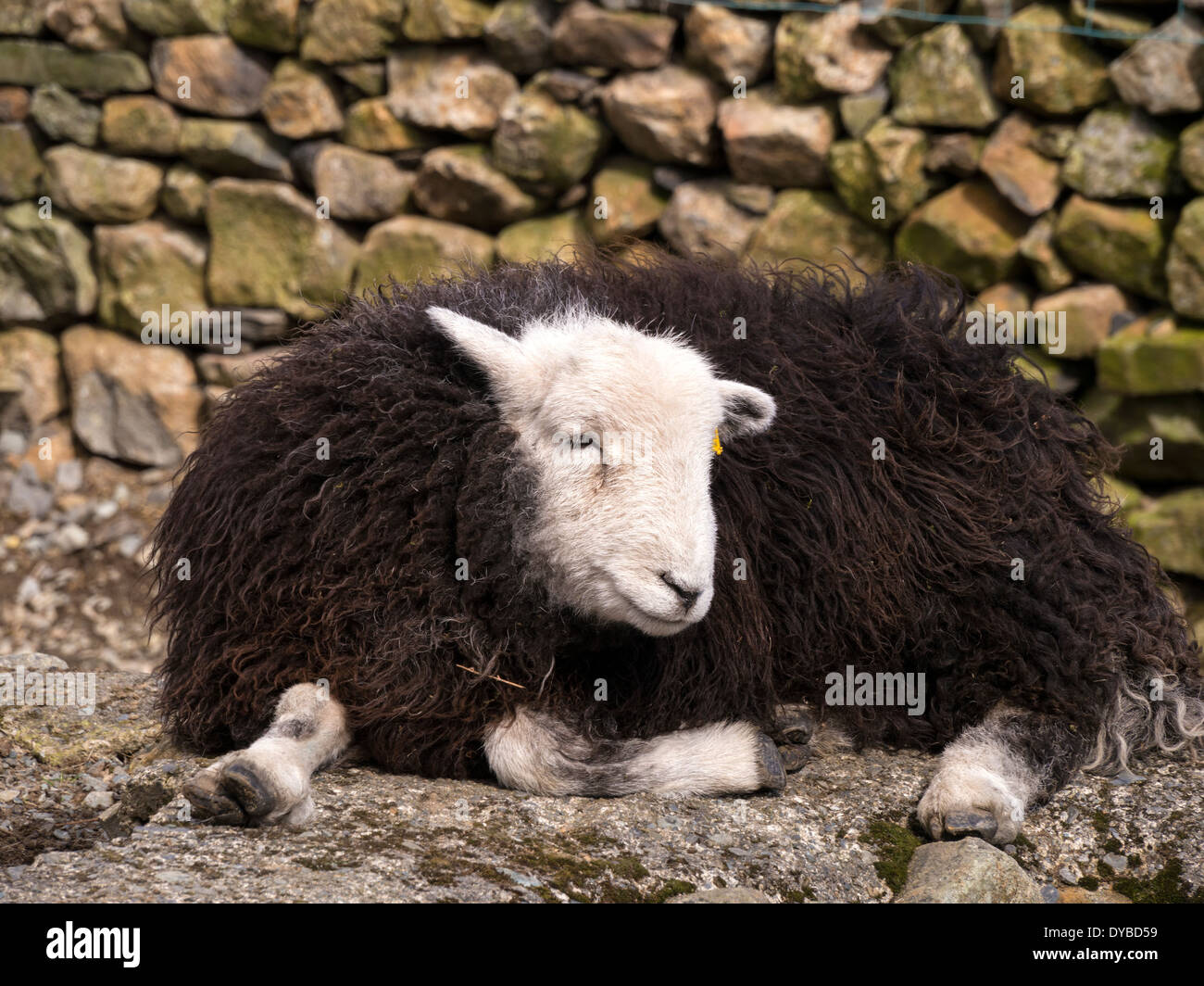 Black And White Sheep Stock Photos  for Sheep Face Black And White  165jwn